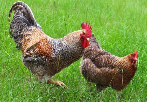 Sierkip Bielefelder kip en haan